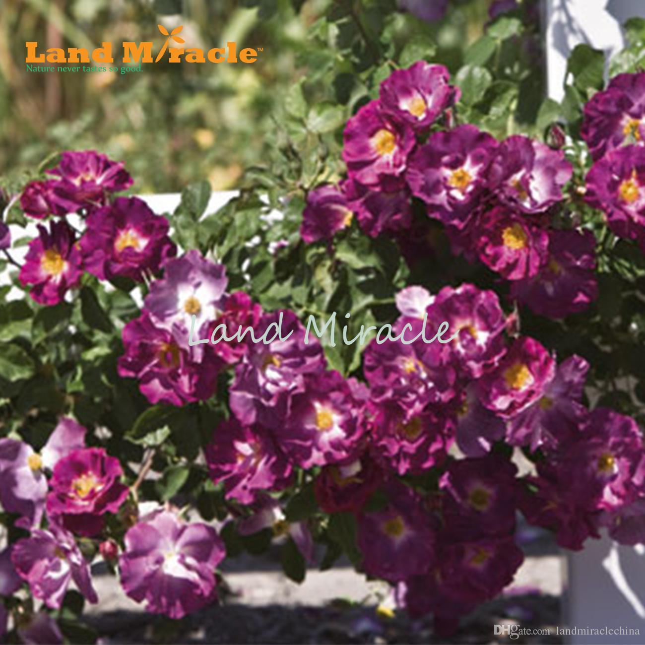 Piante Di Rose Rampicanti acquista cina rosa rampicante semi, 100 semi / pack, cortile pianta semi di  rosa viola bonsai casa giardino w / forte fragranza bonsai fiore in vaso a