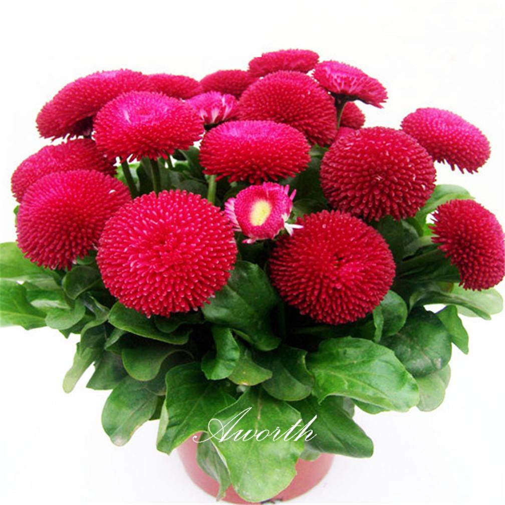 الأحمر الإنجليزية ديزي بيليس زهرة 500 بذور سهلة diy الرئيسية حديقة النباتات المزهرة المعمرة ارتفاع معدل إنبات