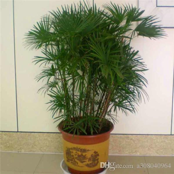 새로운 도착 홈 정원 식물 30 종자 팜 대나무 씨앗 S006