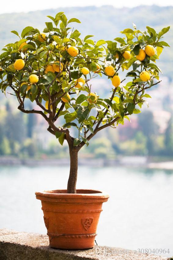 2021 Rare Dwarf Lemon Tree Seeds Bonsai Fruit Plant Organic Garden Decoration Plant D10 From A308040964 0 77 Dhgate Com