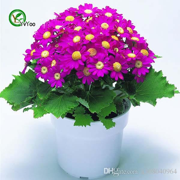 Mix Cineraria Samen Bonsai Samen Garten Pflanzen Blumensamen Jährliche Herb 30 Partikel / lot H024