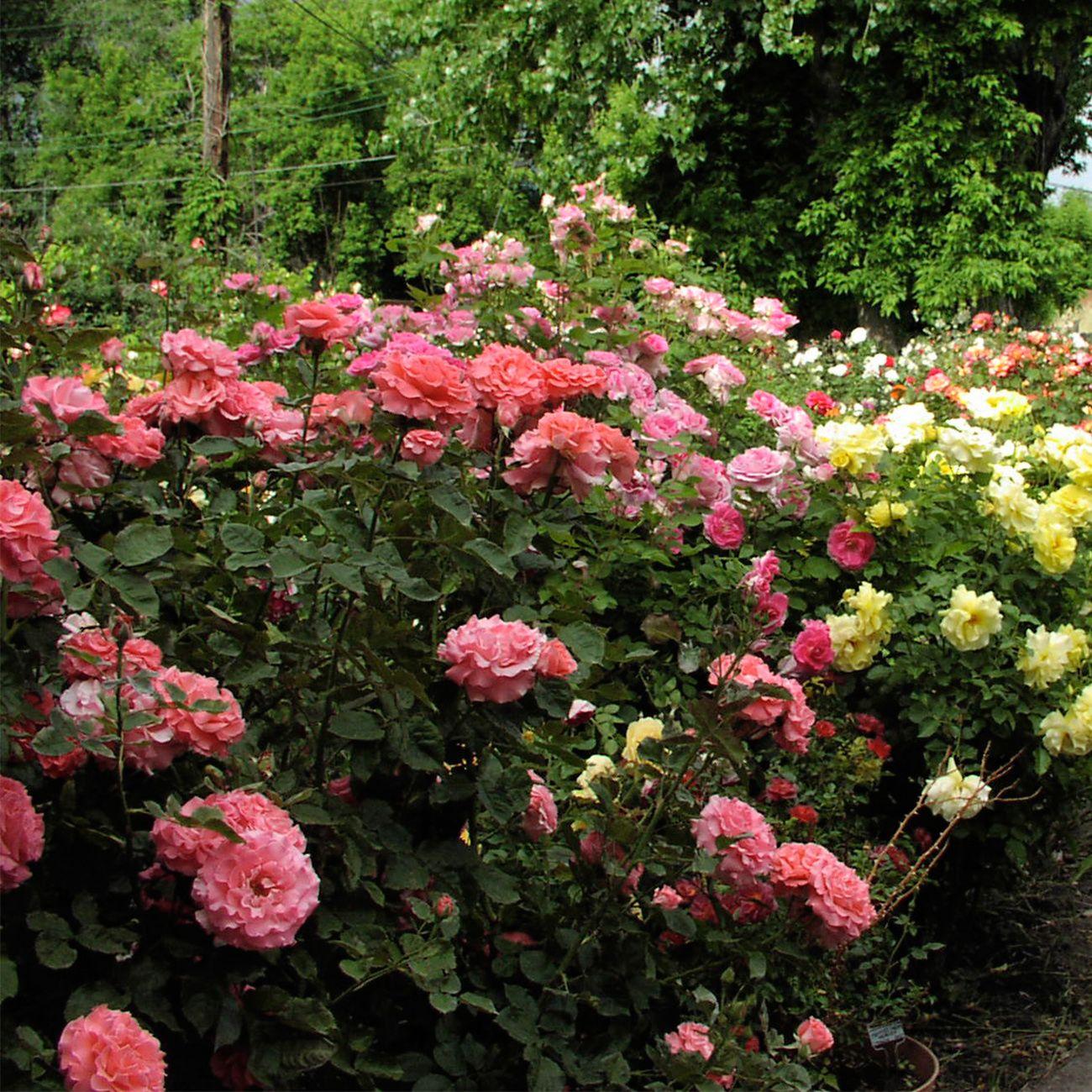 Piante Rampicanti Da Esterno acquista 50 semi perenne rosa pianta rampicante polyantha rose albero  cespuglio semi giardino casa fai da te cortile vaso fiore profumato a 2,25  € dal