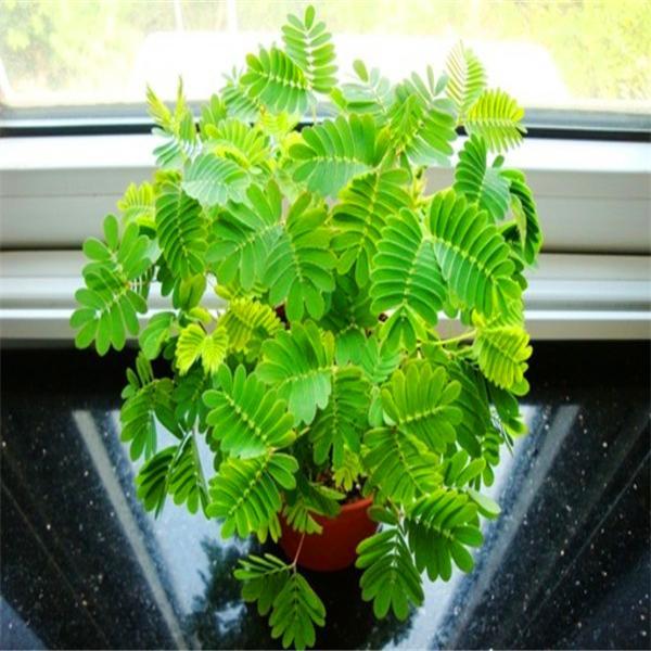 20 teile / beutel, Mimosa Baum blumensamen, DIY topfpflanzen, indoor / outdoor topf samen keimrate von 95% C011