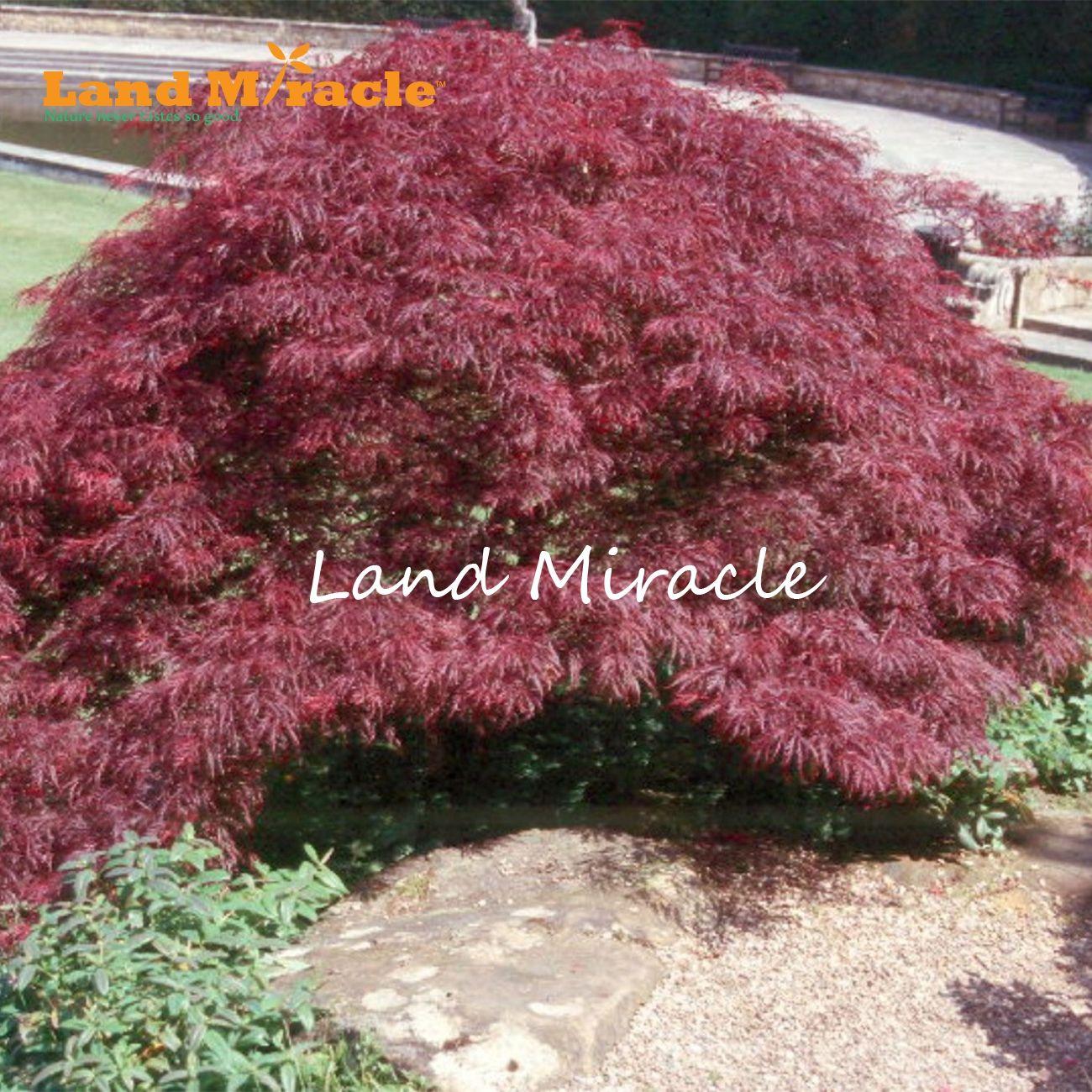 Acero Blu Giapponese acquista 10 pz / borsa semi di acero giapponese fuoco acero bonsai semi di  fiori semi di albero pianta in vaso 98% germinazione giardino di casa a