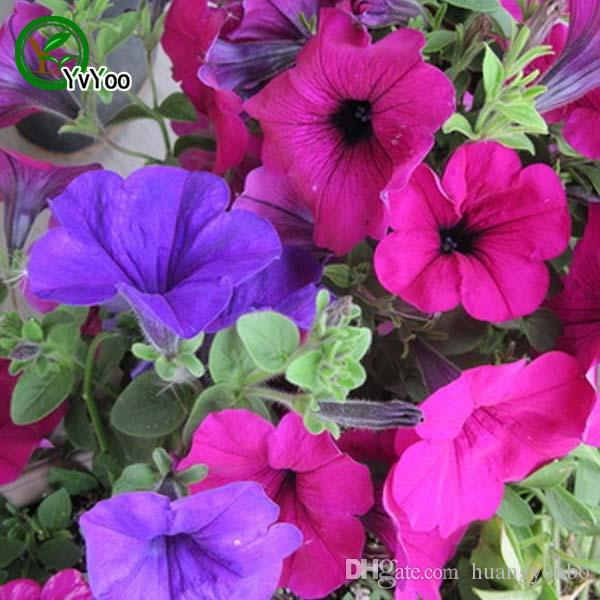 Morning Glory Seeds Rare Petunia Graines Fleur Bleue Graines Morning Glory semences Home