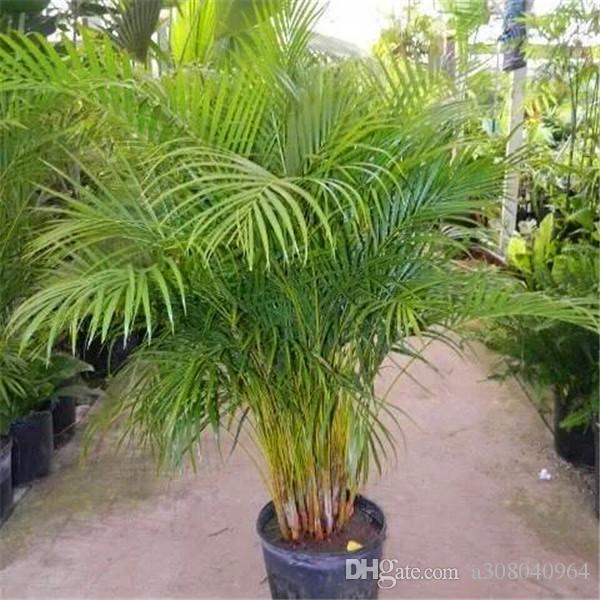 2015 venda quente, sementes de bambu de palmeira casa jardinagem atacado 30 pçs / lote sementes de jardim S001