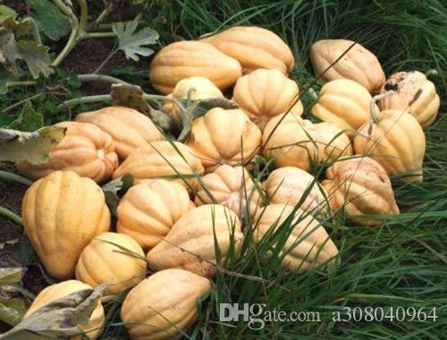 스쿼시 첼리마 - 20 씨앗 - Curcubita Pepo - 가보 도토리 고구마 T012