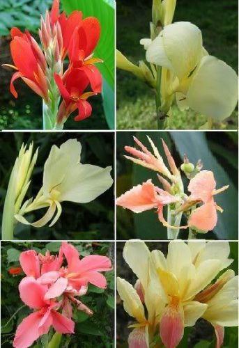 Semi di fiori 10 pz semi di Bonsai semi di canna fiori magici primavera e piante semi per giardino A008