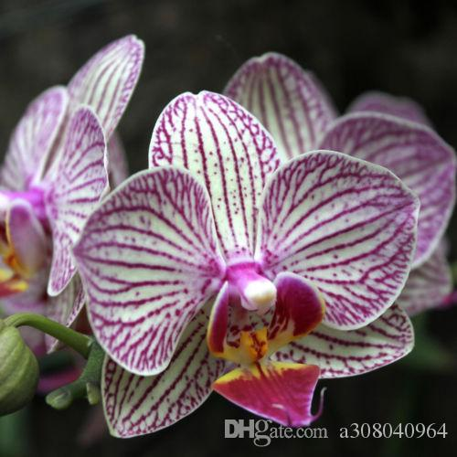 Phalaenopsis Moth Orchid Flower Seed USA Grown Pink With Purple Spots 2015 garden decoration plant 20pcs F62