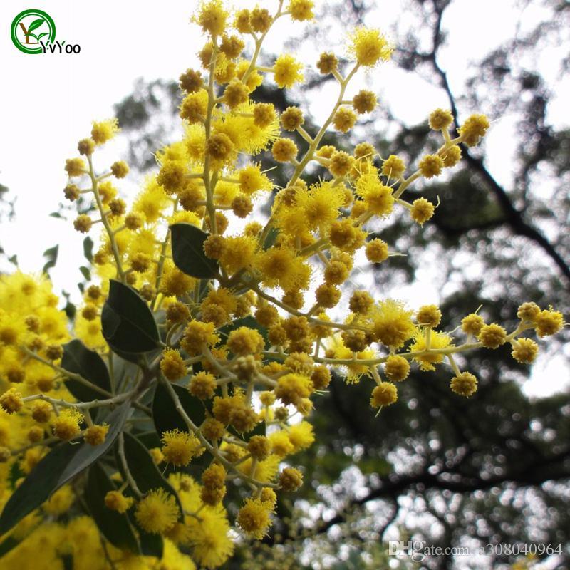 Sponge-tree sementes Árvore vaso Bonsai Courtyard Home Jardim Bonsai Planta 30 pcs J09