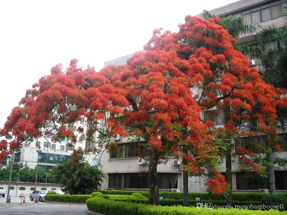 2021 Wholesale 50 Fresh Seeds Delonix Regia Tree Royal Poinciana Flamboyant Tree Flame Tree From Mosobamboosell 3 77 Dhgate Com