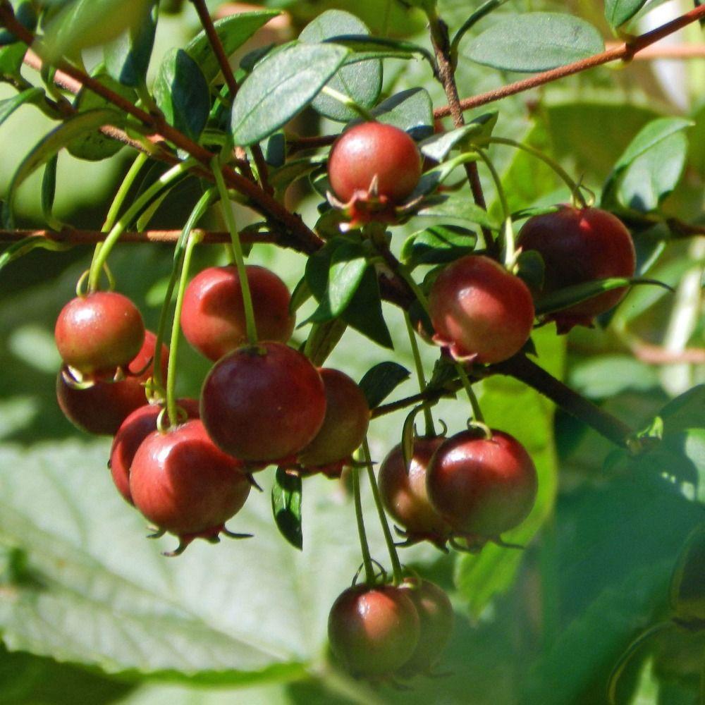 석류 씨앗 씨앗 나무 딸기 머틀 씨앗 정원 장식 공장 30pcs B223