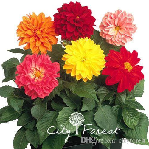 Mixed Color Dahlia Flower 100 Seeds Super Easy to Grow Perennial DIY Home Garden Bonsai Pot Ground Flowering Plant