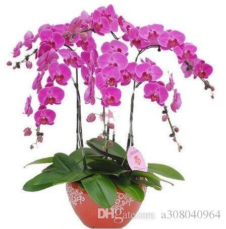 Phalaenopsis Moth Орхидея Семена цветов Выросли желтый садовый завод 20 шт. F61