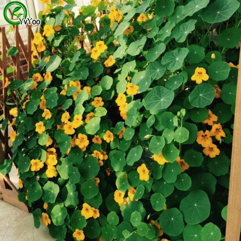 분재 꽃 Tropaeolum majus 씨앗 홈 정원 장식 허브 매우 쉽게 성장하는 10pcs H031