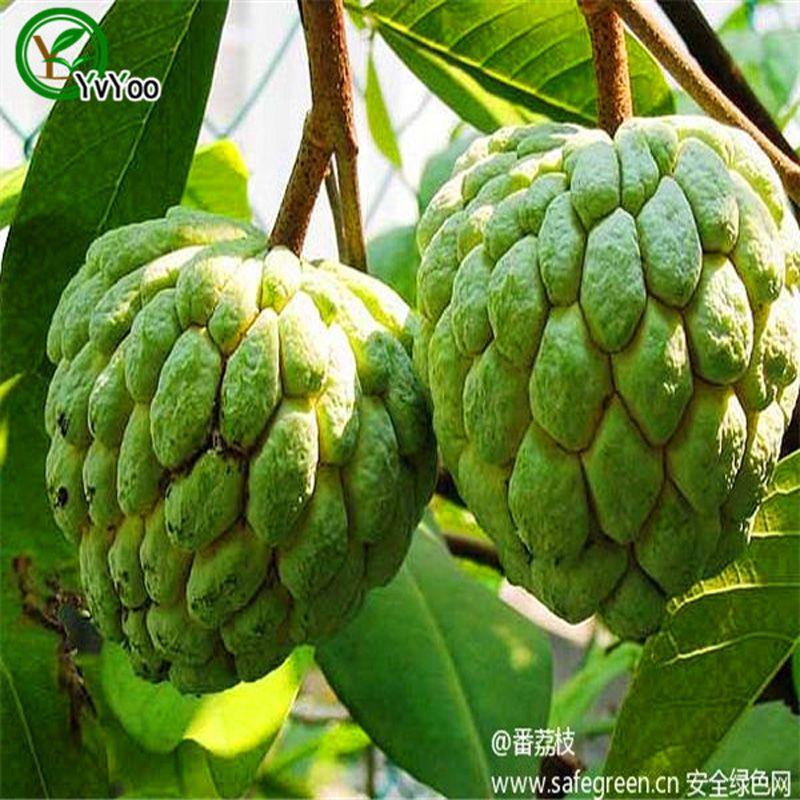 Sugar apple Seeds Organic Fruit Tree Seeds Home Garden Fruit Plant ,Can Be Eaten! 20 pcs G023