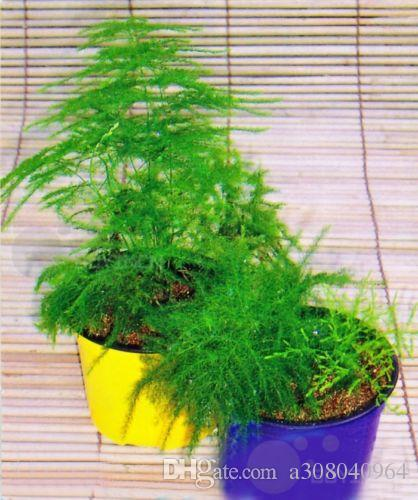 Balcony plant Asparagus setaceus Perennial Bonsai seed Common Asparagus Fern seeds Lace garden decoration plant 6pcs A028
