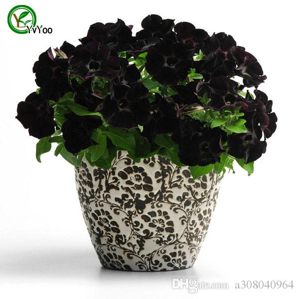 2020 Black Petunia Seeds Bonsai Flower Plant Seeds Very Fragrant