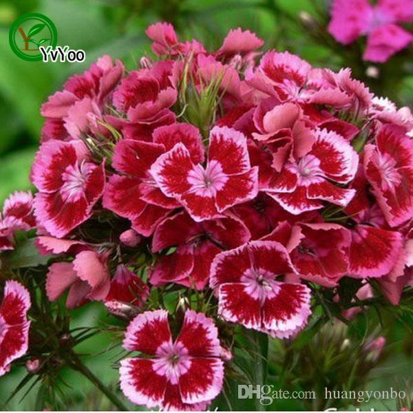 Dianthus Seeds Bonsai Balcony Flower Potted Seeds DIY Home Garden 50 Particles / lot Q041