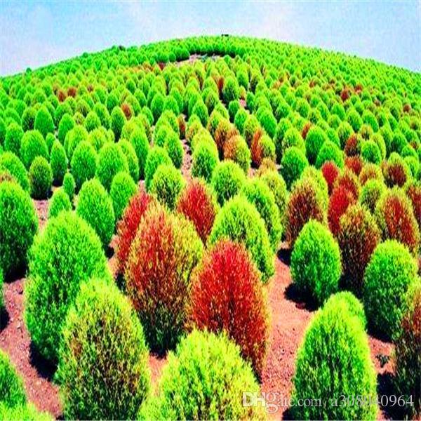 100 PC / 가방 희귀 분재 Broomsedge 씨앗 DIY 홈 정원 식물 중국 잔디 씨앗 S012