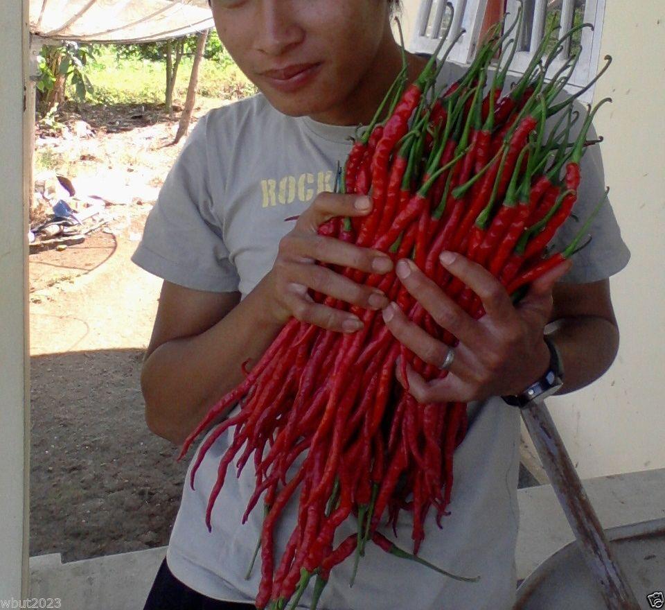 야채 씨앗 인도네시아어 핫 칠리 페퍼 씨앗 몬스터 크기 28-33cm !! 매우 드문 정원 장식 20pcs D47.
