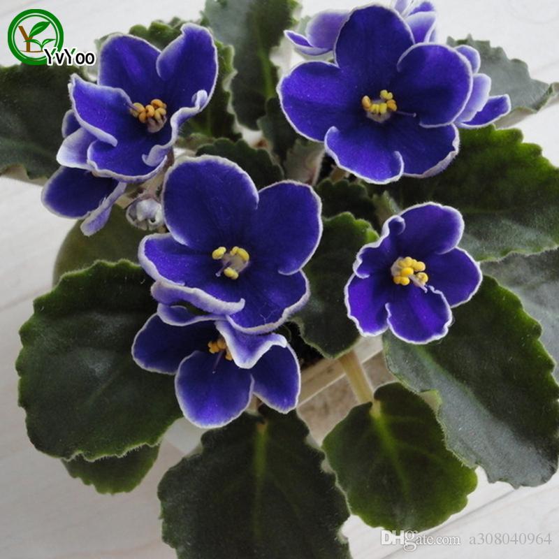 Violetas afrcanas