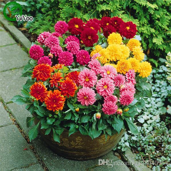 30pc 꽃 씨앗 달리아 씨앗입니다. 아름 다운 정원 식물입니다. 드문 정통 분재 달리아 K003.