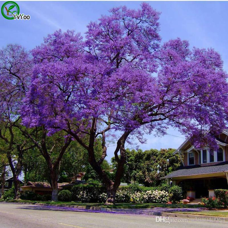 Jacaranda Samt Bonsai-Baum 100% echter Samen in-kind Schießen Heimgartenpflanze 20pcs W016