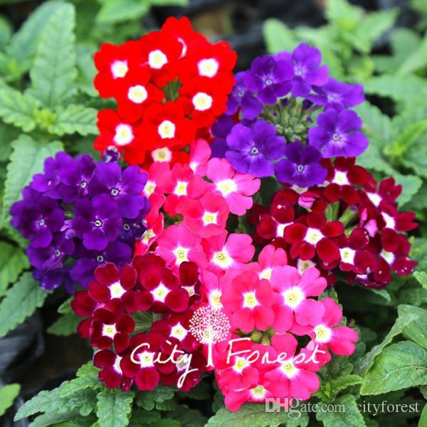 Verbena Hybrida colore del fiore Mix 100 semi / sacchetto facile da coltivare da semi Hardy Annual Bonsai Garden vegetali