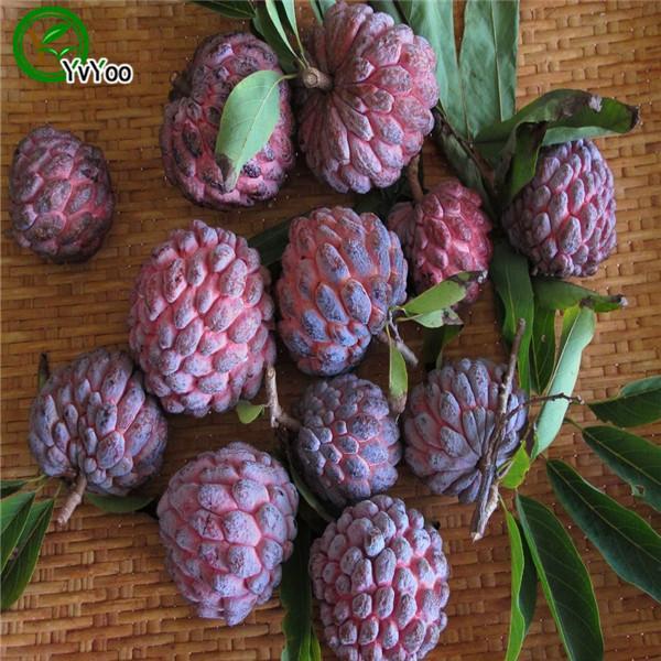 설탕 사과 씨앗 홈 식물 맛있는 과일 씨앗 홈 정원 식물 20pcs L035에 대 한 매우 크고 달콤한 맛있는 과일 씨앗