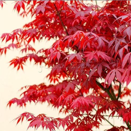 Bonsai tree Passionate Japanese Red Maple Leaf Seeds garden decoration plant 20pcs A82