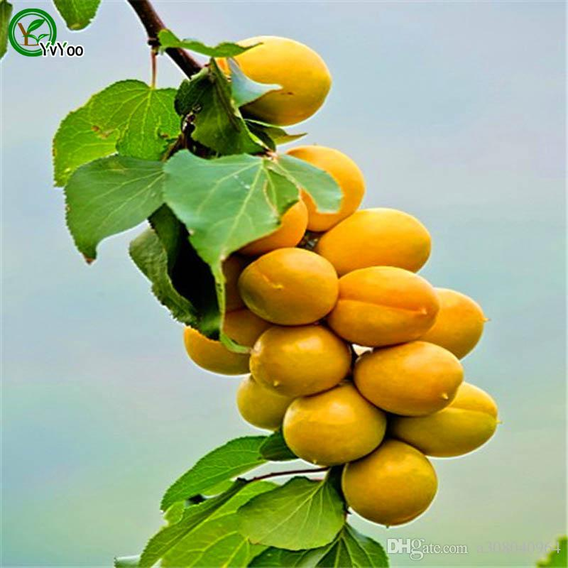 살구 나무 씨앗 맛있는 과일 미니 화분과 과일 나무 씨앗 흥미로운 분재 공장 5 입자 / lot V017