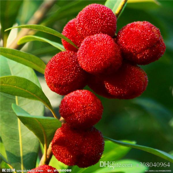 붉은 bayberry 나무 씨앗 천연 향수 실내, DIY 홈 정원 분재 10SEEDS A062