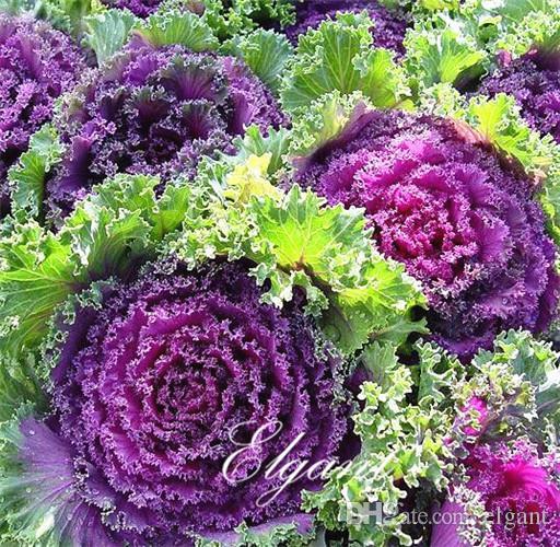 2020 Ornamental Kale Brassica Oleracea Flowering Kale 50 Seeds