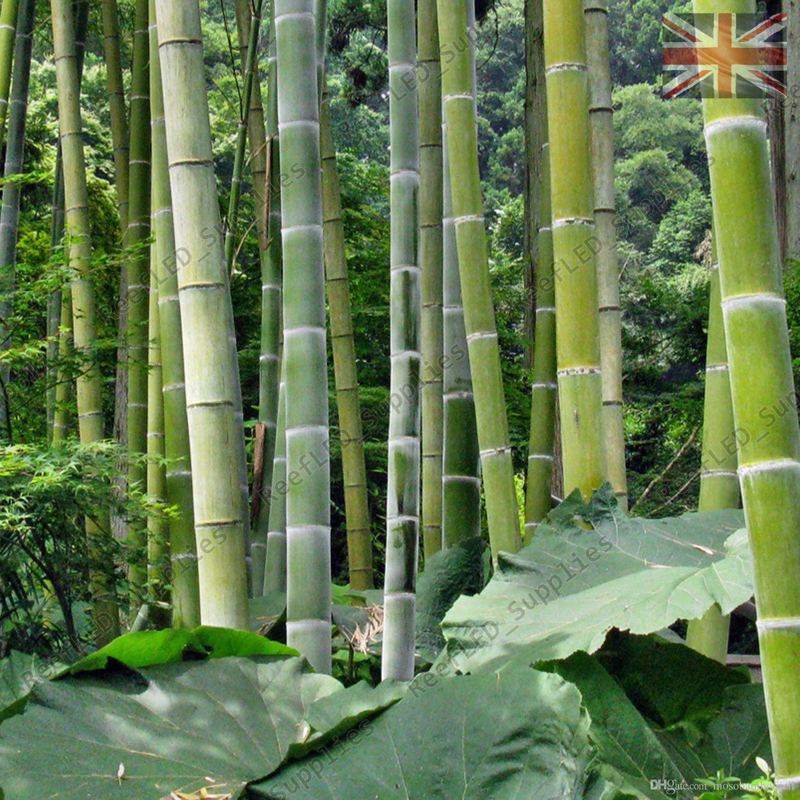 100 Semillas de bambú Moso Phyllostachys Pubescens Semillas de bambú gigante Lote de 100 SEMILLAS Envío gratis