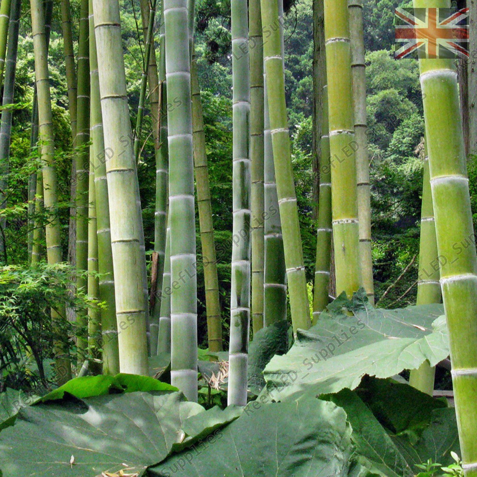 100 Moso Bambus Samen Phyllostachys Pubescens Riesige Bambussamen Lot von 100 Samen Freies Verschiffen