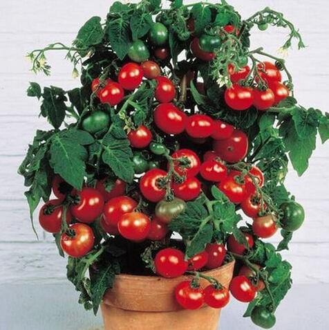 2016 Rushed New Outdoor Plants Promotion Garden tomato seed Potted Bonsai Balcony fruit Vegetables seed 200pcs