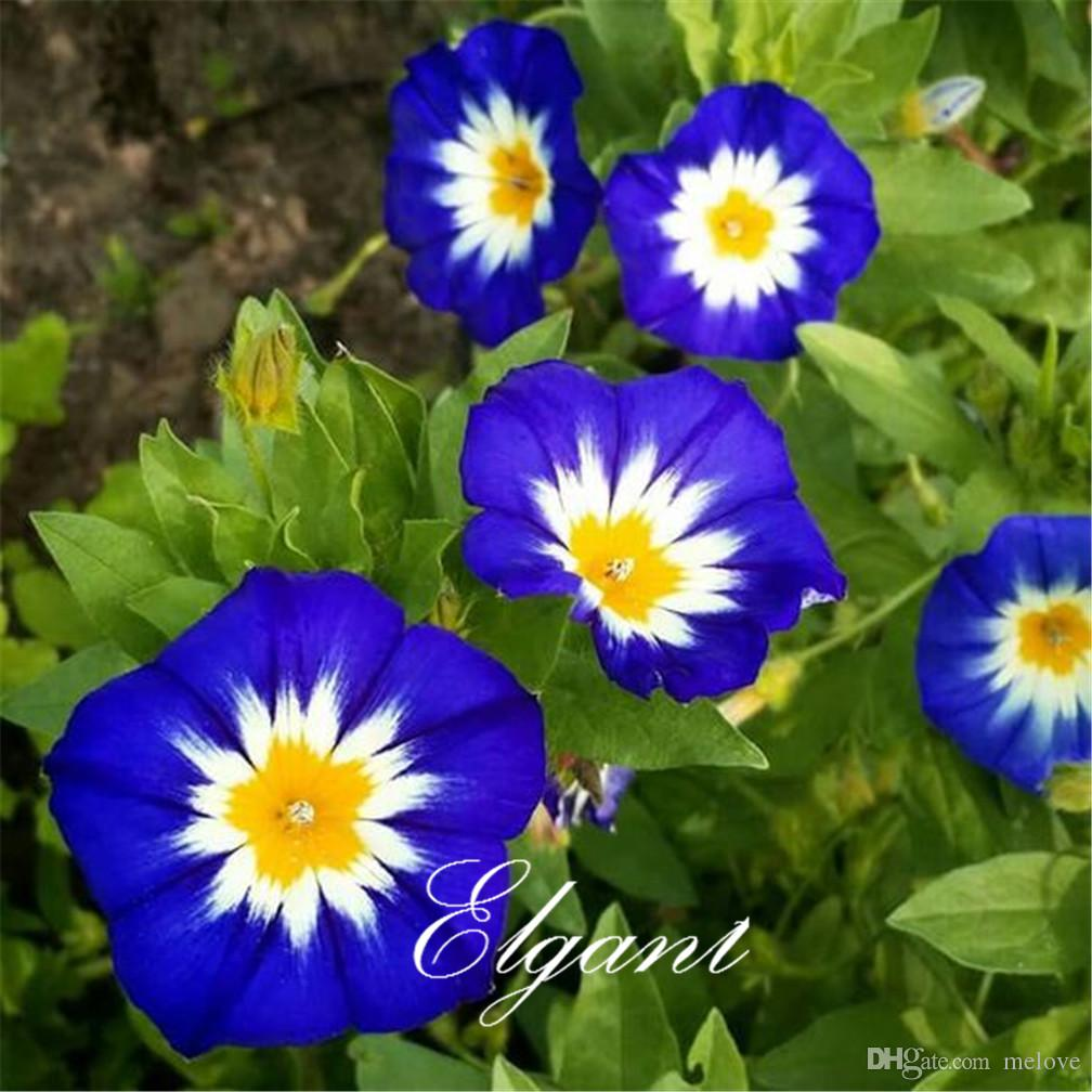 Dwarf Morning Glory Convolvulus Tricolor 20 Seeds Easy to Grow from Seeds Drought-tolerant Perennial