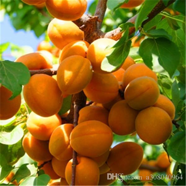 Albicopo raro albero albicocca semi organici frutta albicocca albero albero semi di alberi domestici giardino pianta di frutta 5pcs semi di bonsai, può essere mangiato! A029.