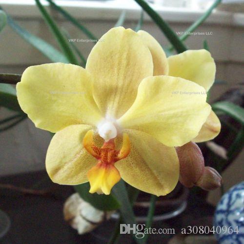Amarelo Phalaenopsis traça orquídea flor de semente home cultivada jardim decoração planta 20 pcs f63