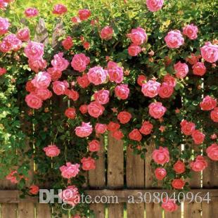Rosa rose samen Bonsai Blume für Zimmerpflanzen Samen 20 Partikel / lot
