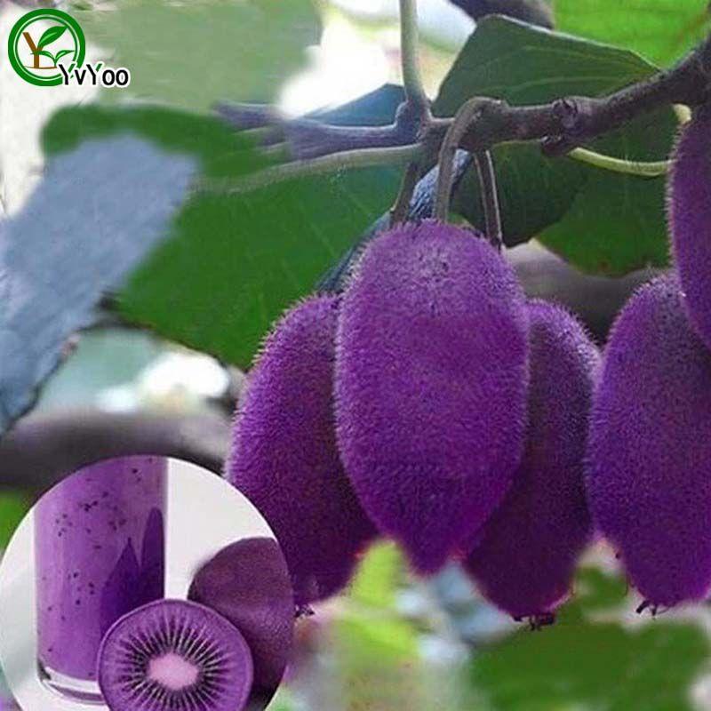 100 particules / sac Violet Kiwi Graines Nutritives et Délicieuses Graines De Fruits BRICOLAGE Maison Bonsaï Arbre 100 Particules / lot t003