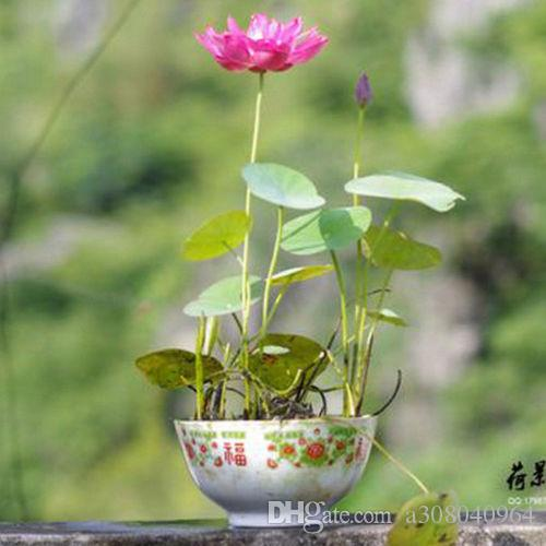 2021 Pink Color Bowl Lotus Water Lily Flower Bonsai Lotus Seeds Garden Decoration Plant F127 From A308040964 1 43 Dhgate Com