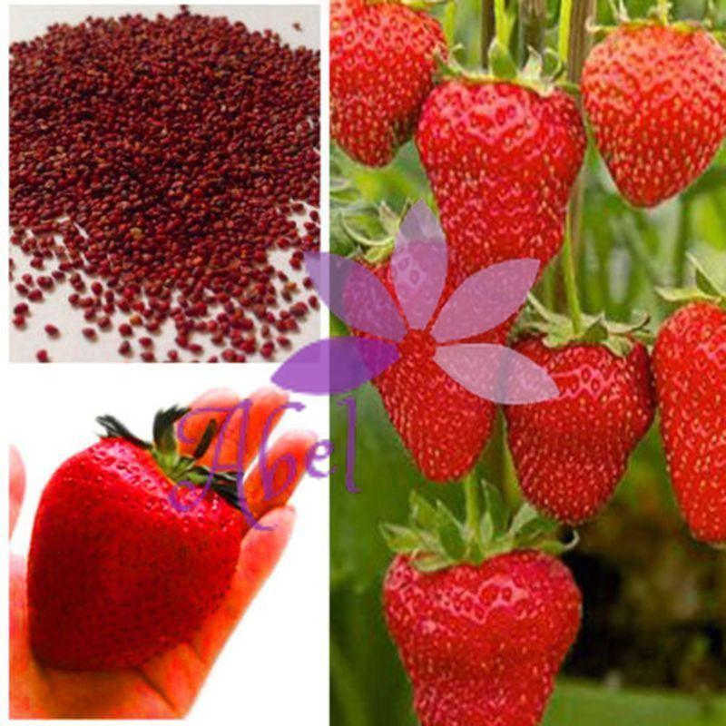 HOT 1000+ Semillas de fresa gigante Súper grande Fruta roja Bonsai de fresa