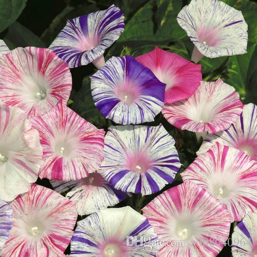 Morning Glory Seeds 'Carnevale di Venezia' Ipomoea purpurea / Color stripes garden decoration flower 20pcs D7