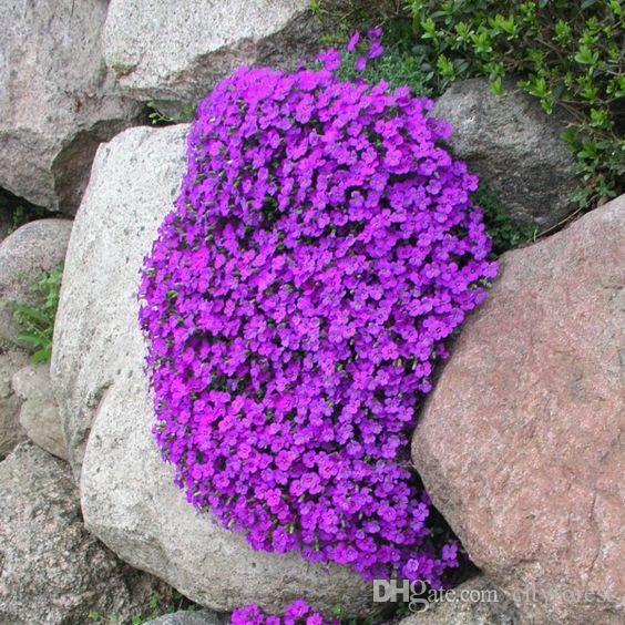 Rock Cress Aubrietia Flower 100 Pcs Seeds Einfach zu züchten, hervorragende Bodendecker, Steingartenpflanze oder Zierkaskaden über Mauern.