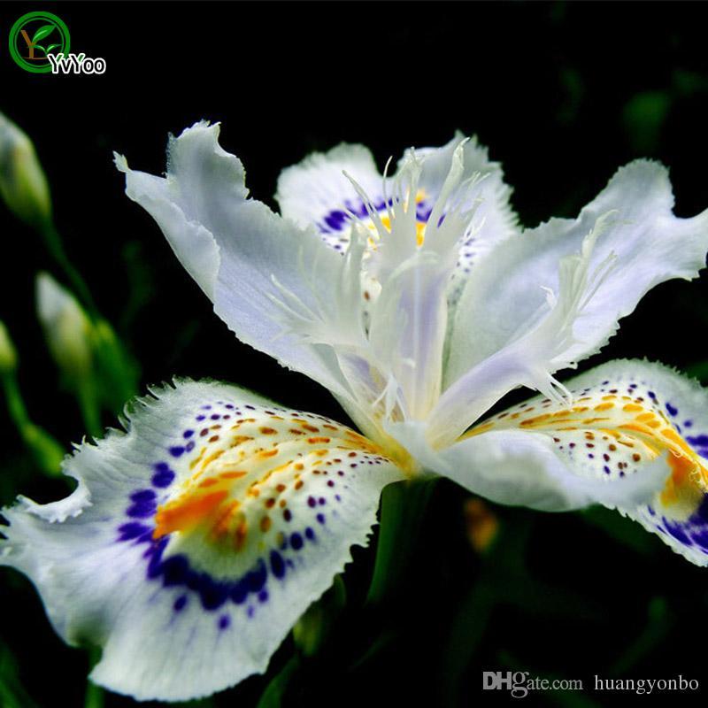 Acquista Bellissimi Semi Di Iris Bianchi Semi Di Fiori Bonsai Piante In Vaso Fiori 30 Particelle Sacchetto A016 A 2 02 Dal Huangyonbo Dhgate Com