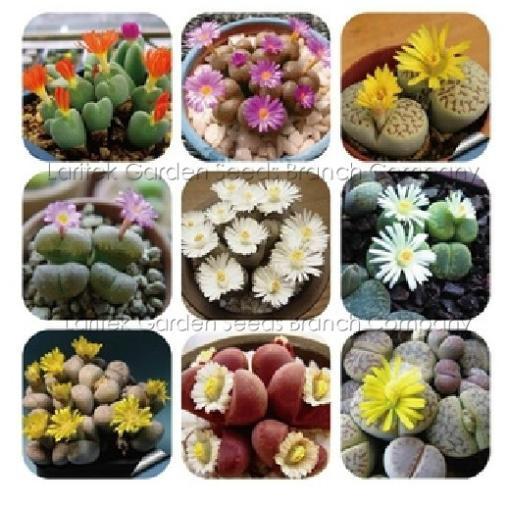 9 tipi Mix Lithops Plants, 60 Seeds, Nice Pebble Plants, Living Stones, Succulent Lt042