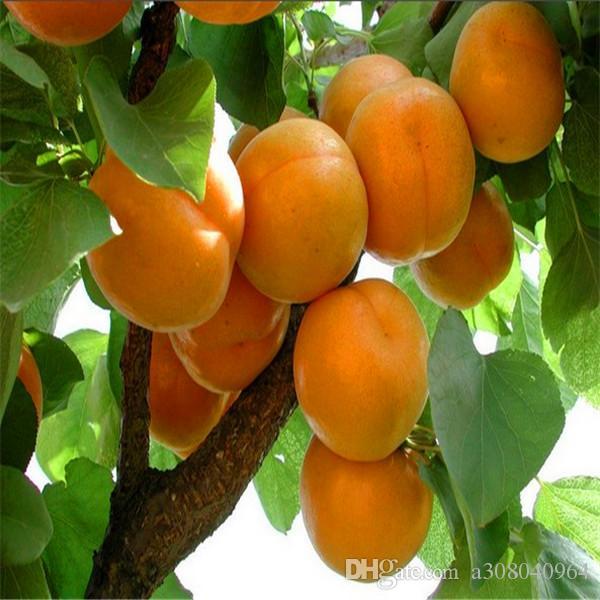 5 씨앗 / 팩 홈 정원 트리 A021에 대 한 뜨거운 판매 살구 나무 씨앗
