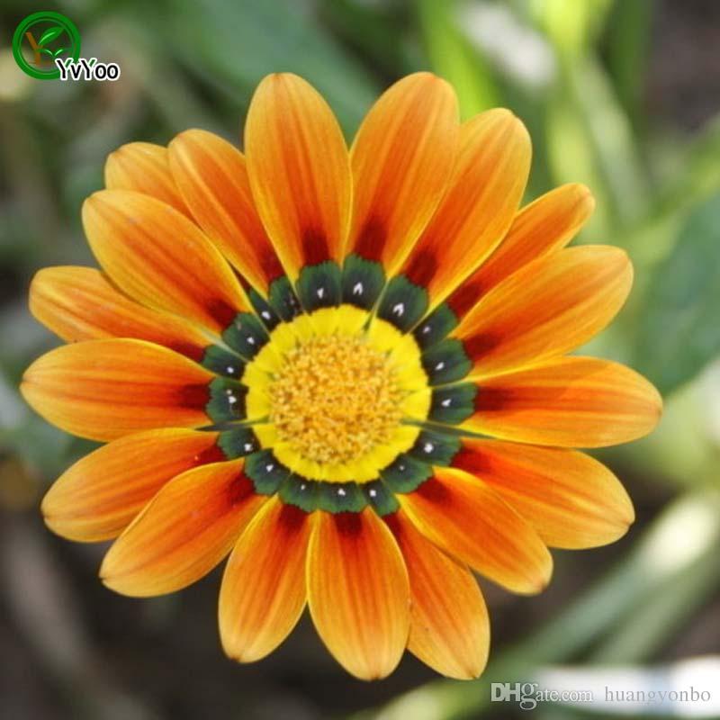 Vaso Fiori.Acquista Medaglia Gialla Semi Di Crisantemo Semi Di Fiori Bonsai